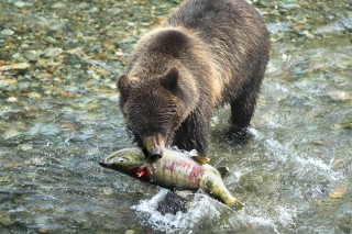 Bear eating a fish in a river